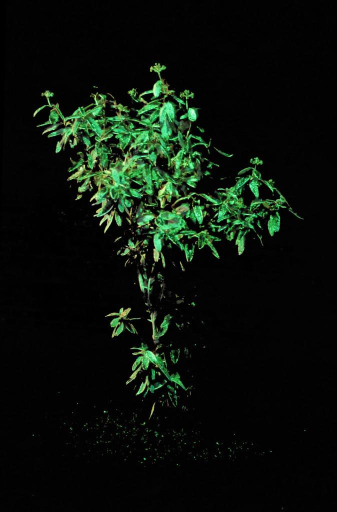 cristiano tassinari, Shinig plant, (with luminescent paint), plant, intermittent electric light, luminescent paint, 2008