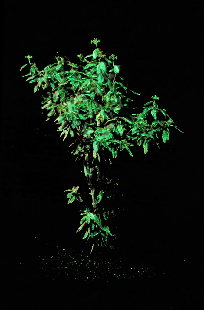 cristiano tassinari, Shinig plant, (with luminescent paint), plant, intermittent electric light, luminescent paint, 2008